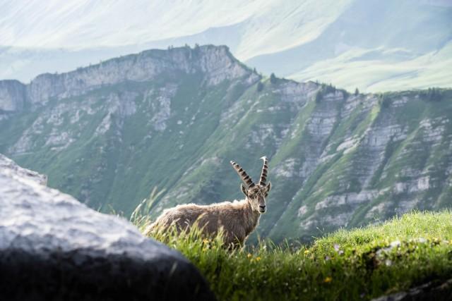 chamois-et-bouquetins-esprit-outdoor-le-grand-bornand-tourisme-301733