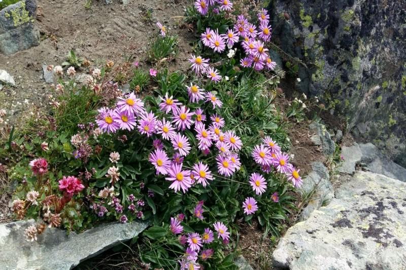 fleurs-des-alpes-1920x1080-230419